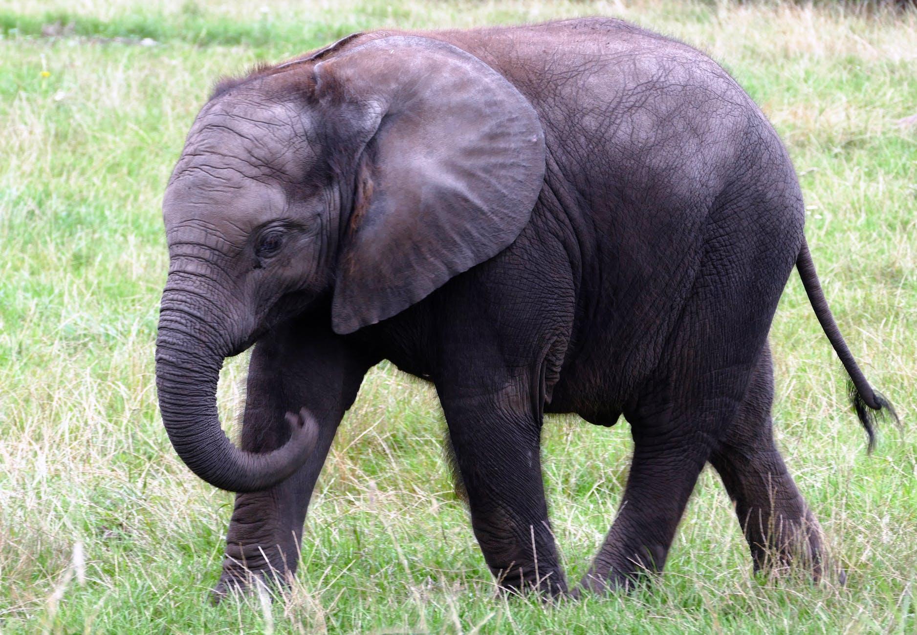 animal big elephant endangered